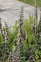 Wolliger Fingerhut (Digitalis lanata)